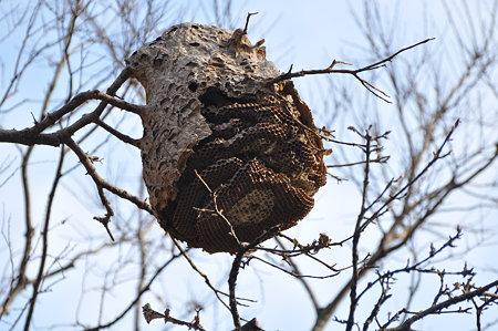 スズメバチ科 キイロスズメバチの巣