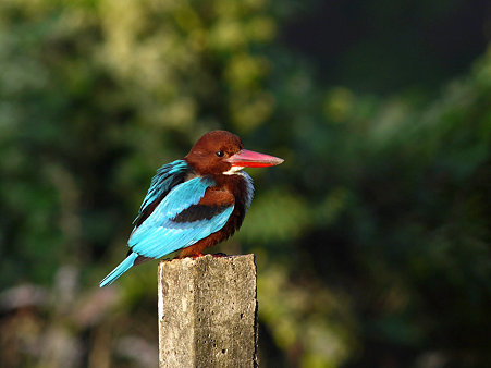 アオショウビン(White-throated Kingfisher) P1070692_R