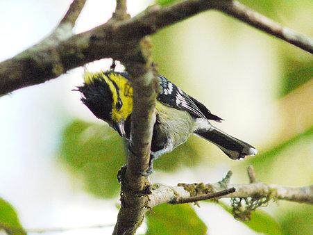 セボシカンムリガラ(Yellow-cheeked Tit) P1090501_R