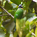 Photos: オナガヒロハシ(Long-tailed Broadbill) P1070156_R