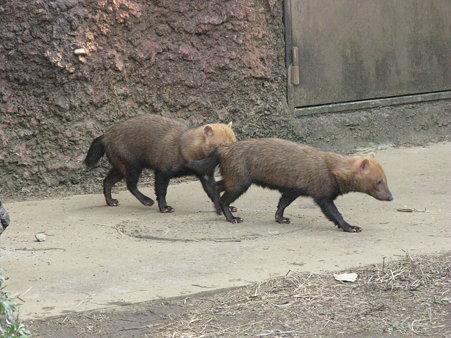 ヤブイヌ@よこはま動物園ズーラシア