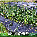 写真: 06早生種の玉葱