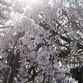 2011年 玉蔵院枝垂桜