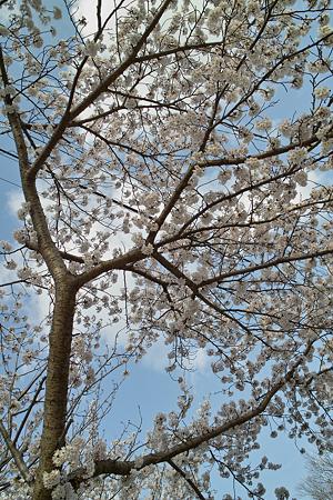 Cherry_blossom04162011dp2-1