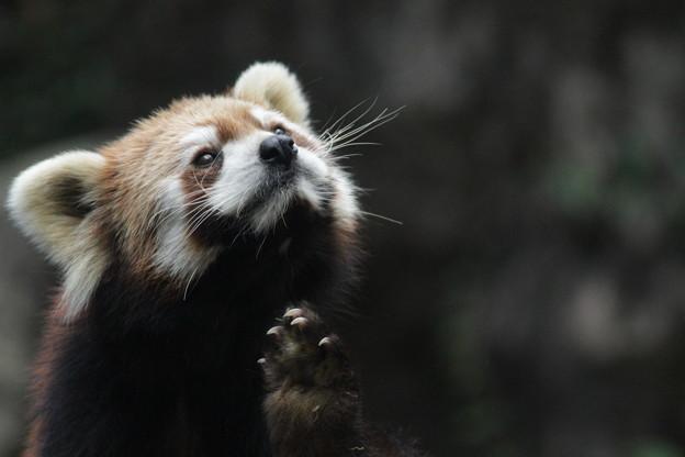 毛づくろいのレッサーパンダ