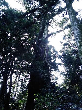 徳島 上勝 久保の大杉2