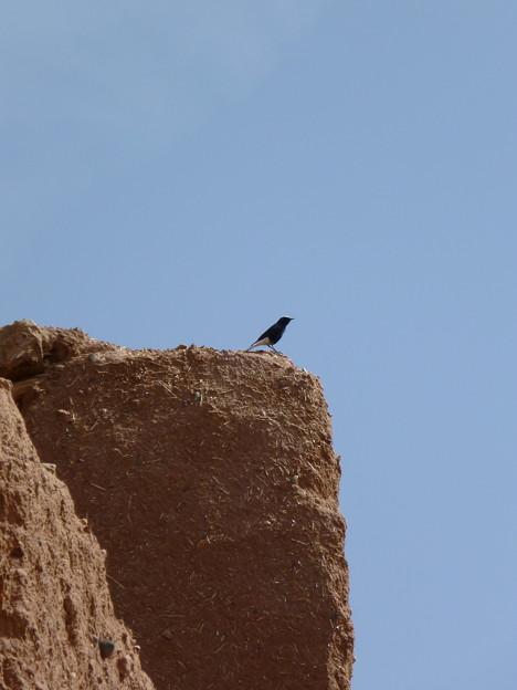 モロッコの野鳥