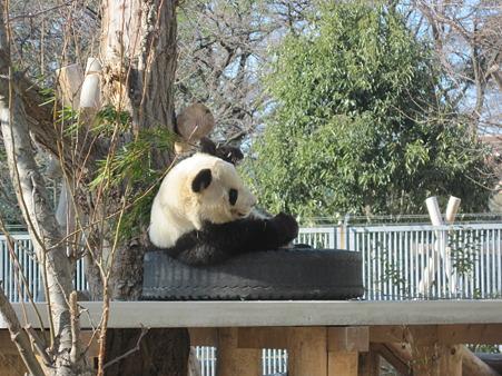 一方、神戸のパンダは…