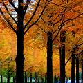 写真: メタセコイアの並木道(2)