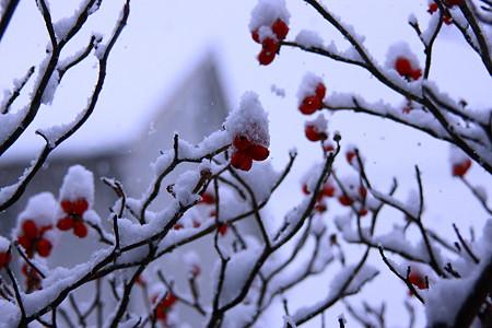 今朝の雪と真っ赤な実(2) 雪帽子!(*^-^)ニコ