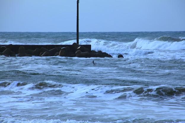 荒れる日本海とカモメ  溺れないで!