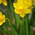写真: 庭に黄色い春来たる