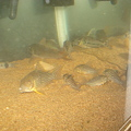 Photos: 20091212 コリドラス水槽の掃除3