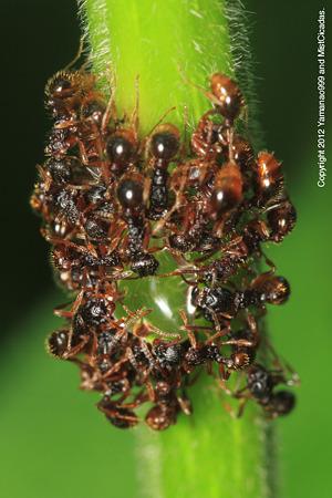 アリ科の一種