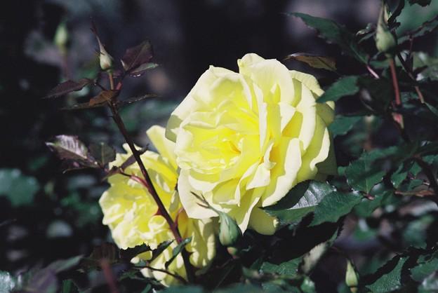 晩秋の薔薇 2