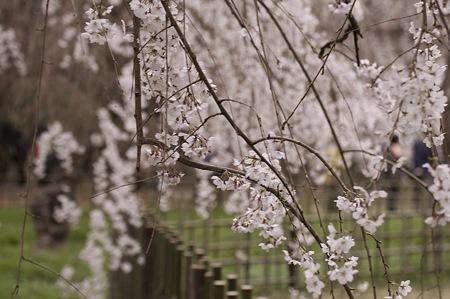 2011-04-02_京都御所_桜02