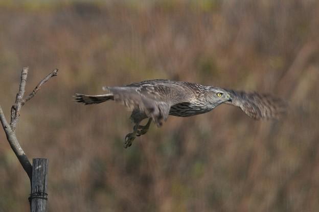 写真: 飛んでるオオタカ(幼鳥)