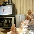 写真: フィギアスケートを見る犬たち
