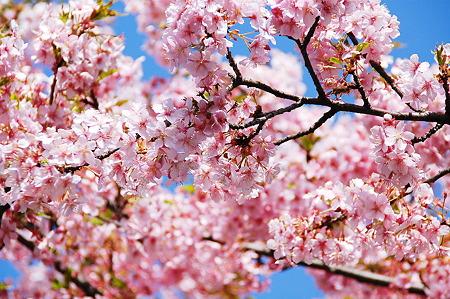 桜 満開2010年03月14日_DSC_0399