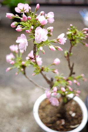 お花見の季節到来!
