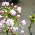 写真: 桜咲く!