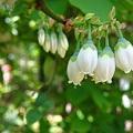 小さな白い妖精の花