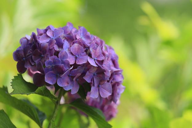 紫陽花と新緑