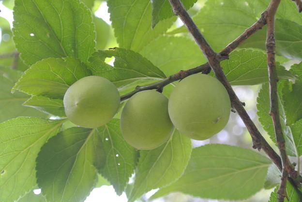 Photos: 5月終わりの梅の実