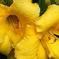 Yellow Daylilies 7-22-09