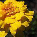 Safari Yellow 7-15-09