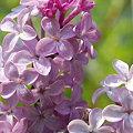Lilac 5-31-09