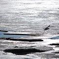 写真: a Seagull 1-27-10
