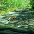 写真: Red Fox 5-30-11