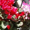 写真: ベランダガーデニング2011/05/02
