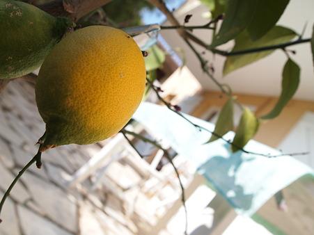 レモンのなる庭