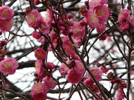 100120-6.西福寺の梅 (3)