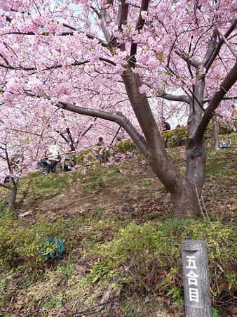 100223-松田山 河津桜 (46)