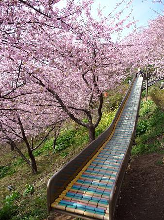 100223-松田山 河津桜 (100)