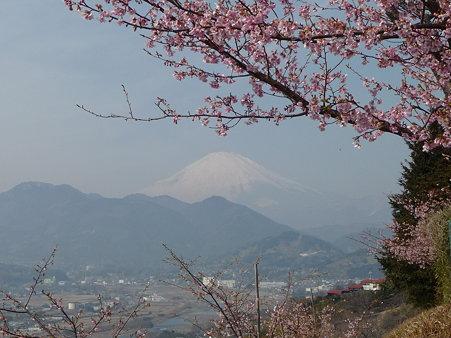 100223-松田山 河津桜 (71)
