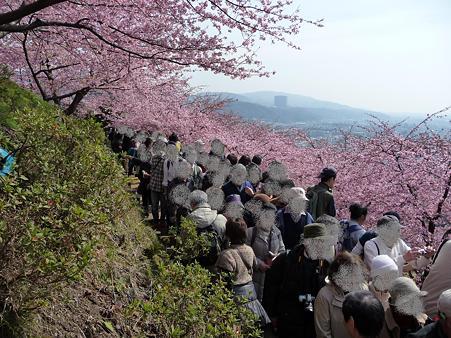 100223-松田山 河津桜 (102)