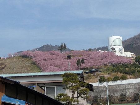 100223-松田山 河津桜 (10)