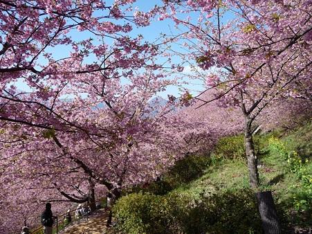 110305-松田山 河津桜 (65)
