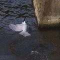 ヤマセミ 6.29 飛び込み-11
