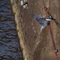 ヤマセミ 6.29 飛び込み-16