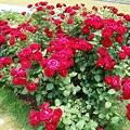 写真: バラの花束のよう。。。