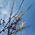 Photos: 紅白の春