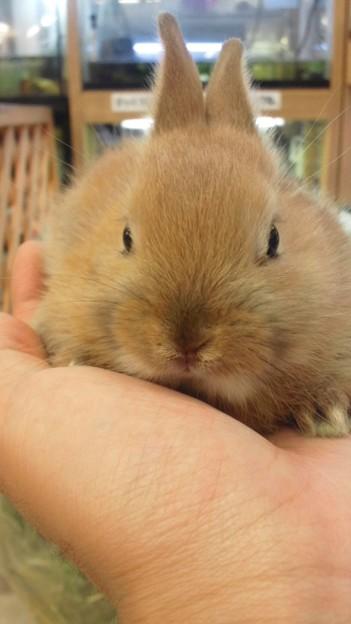 写真: ネザーランド×ミニウサギの...
