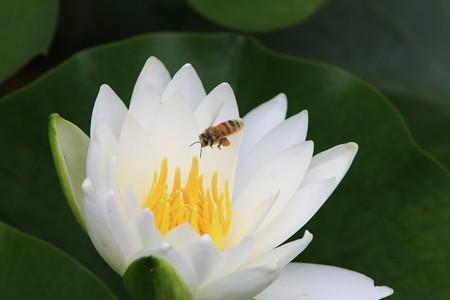 2012.06.18 三渓園 スイレンにミツバチ