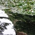 写真: 2012.06.18 三渓園 スイレン池