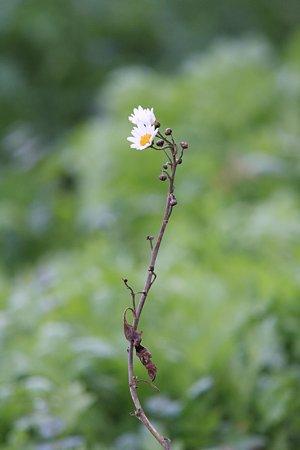 2009.11.08 和泉川 ヒメジョオン 枯れ